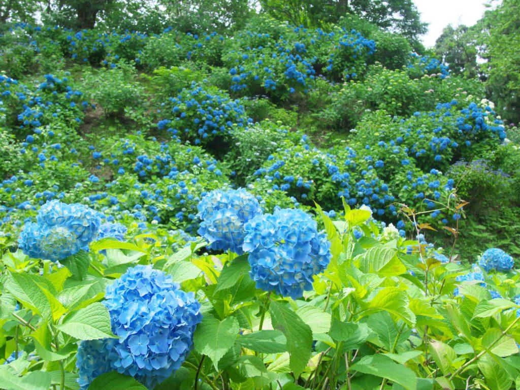 斜面に咲く青い紫陽花