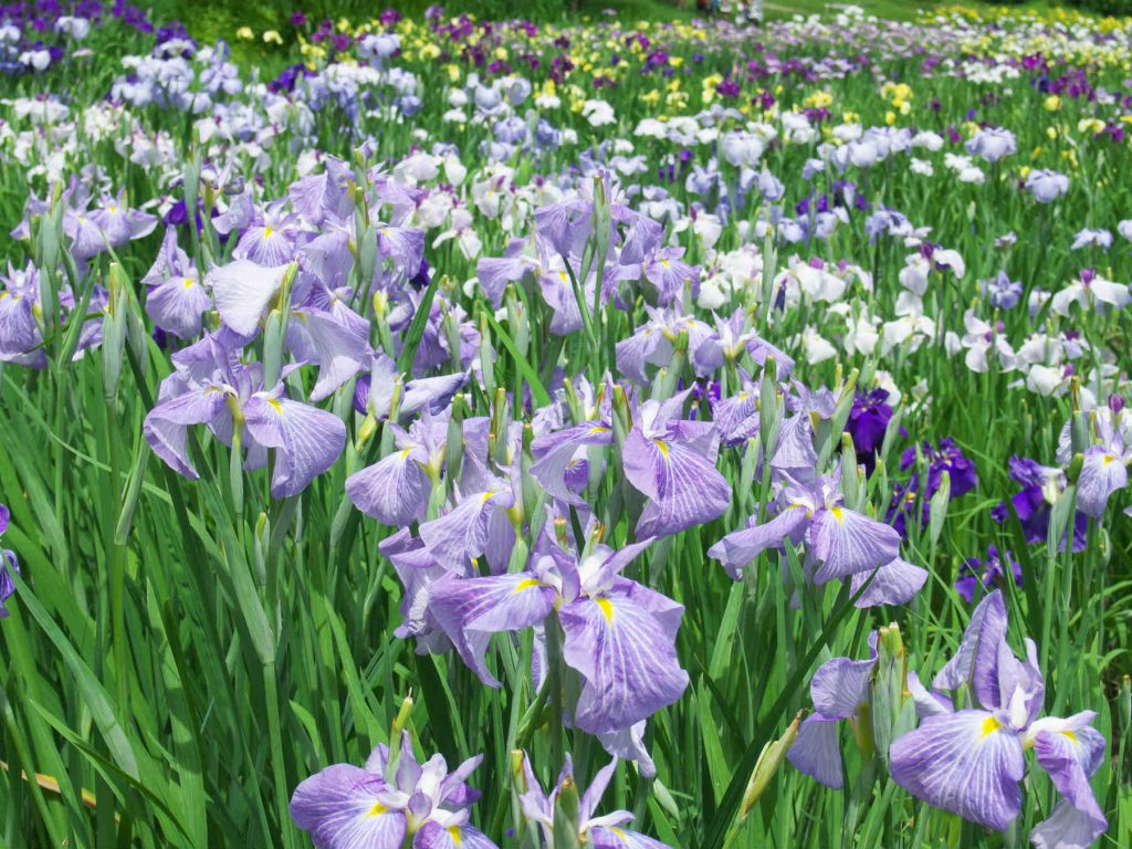 ハナショウブの紫色の花